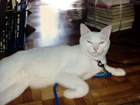 変な猫飼ってました。レオっていいます。